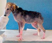 Dog before treatment for Demodectic mange