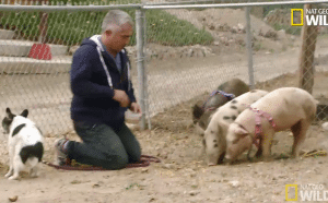 Pet expert Steve Dale writes about Cesar Millan and Simon attacking a pig