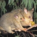 Bush-tail possum