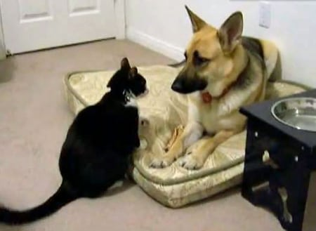 Cat Attacks The New Dog