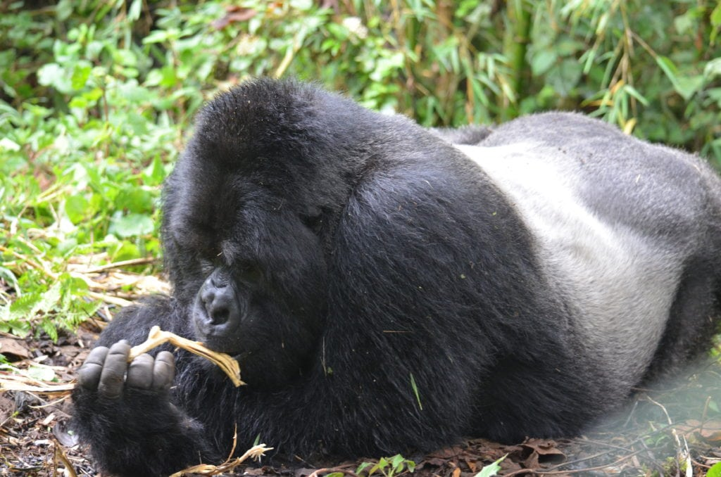 At the time I took this picture - and without a zoom lens - the largest male silverback on the planet