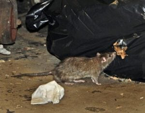 City rats much much much prefer dining on pizza to dog poop