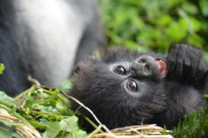Gorillas laugh - in case you wondered