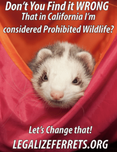 Pet expert Steve Dale comments on legalizing domestic ferrets