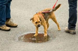 Pet expert Steve Dale and Dr. Joseph Hahn on WGN Radio talking dog flu and leptospirosis
