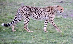 Cheetah are suffering disease resulting from diminished genetic diversity