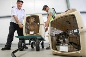 Pet travel in cargo should best be avoided