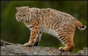 Bobcat only rarely feed on farm anmals