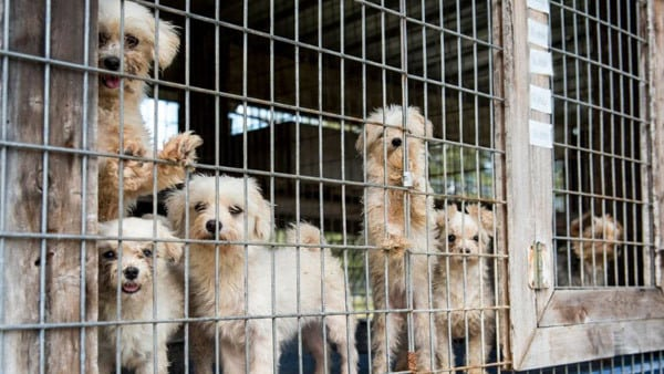American Kennel Club supports a bill that supports puppy mills