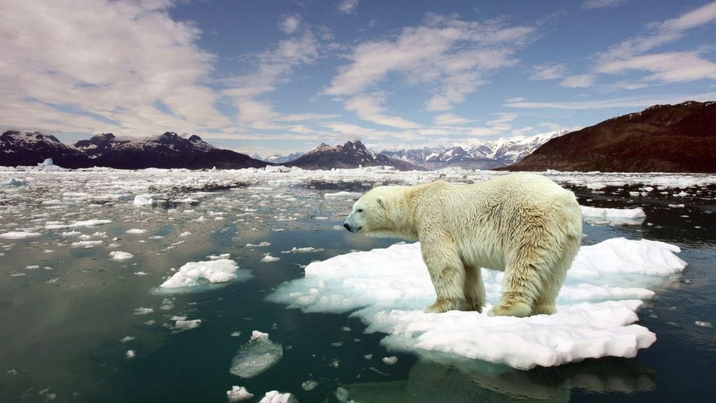 Polar ice caps are melting. Many species are affecting, including record polar bear numbers starving to death at sea