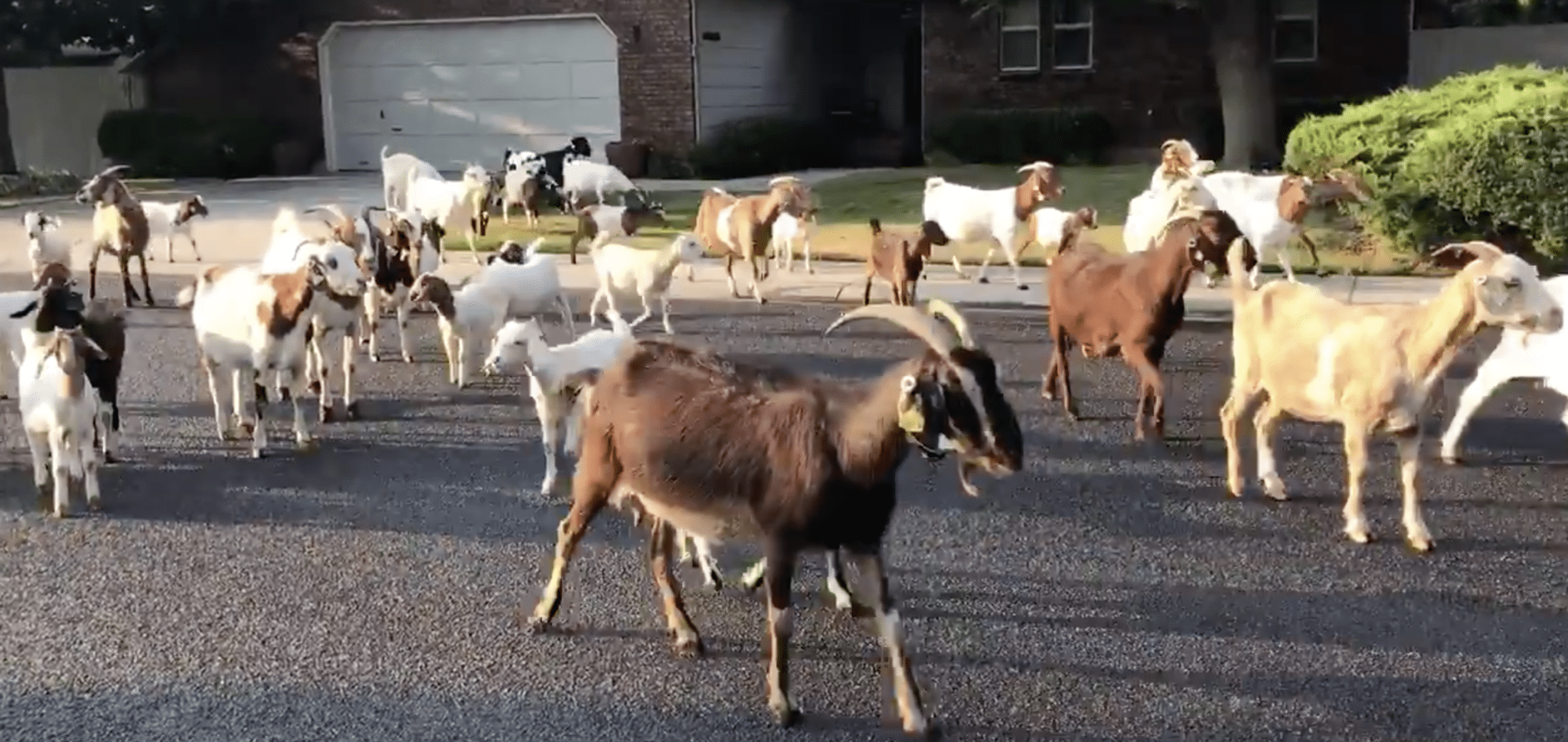 Goats on the Lam