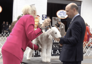 Bedlington Terreir being judged National Dog Show Presented by Purina