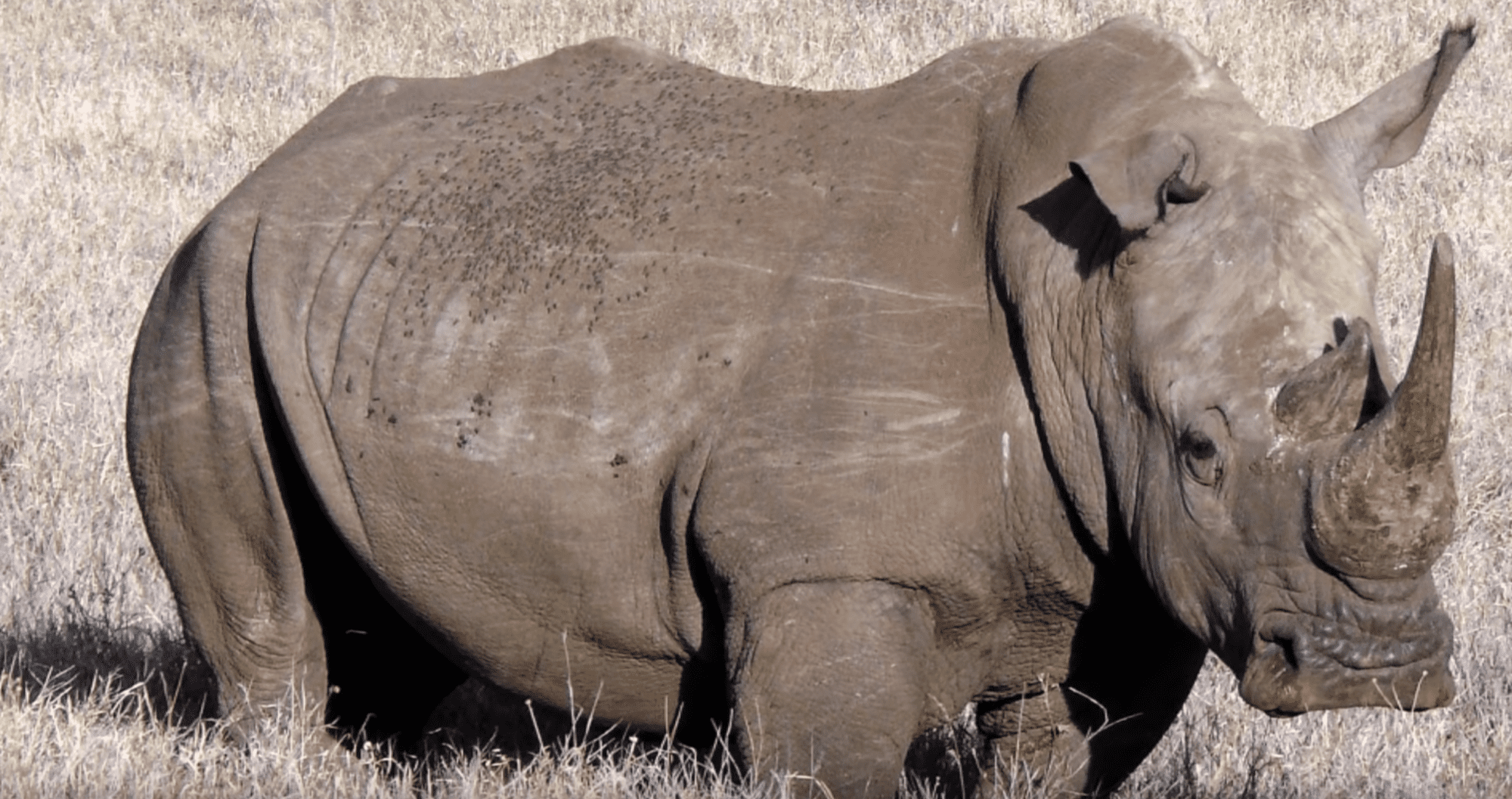 Rhino poacher killed by an elephant and then eaten by lions in South