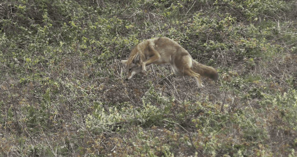 Coyote, Steve-Dale